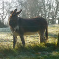 Tarco, one of the donkeys