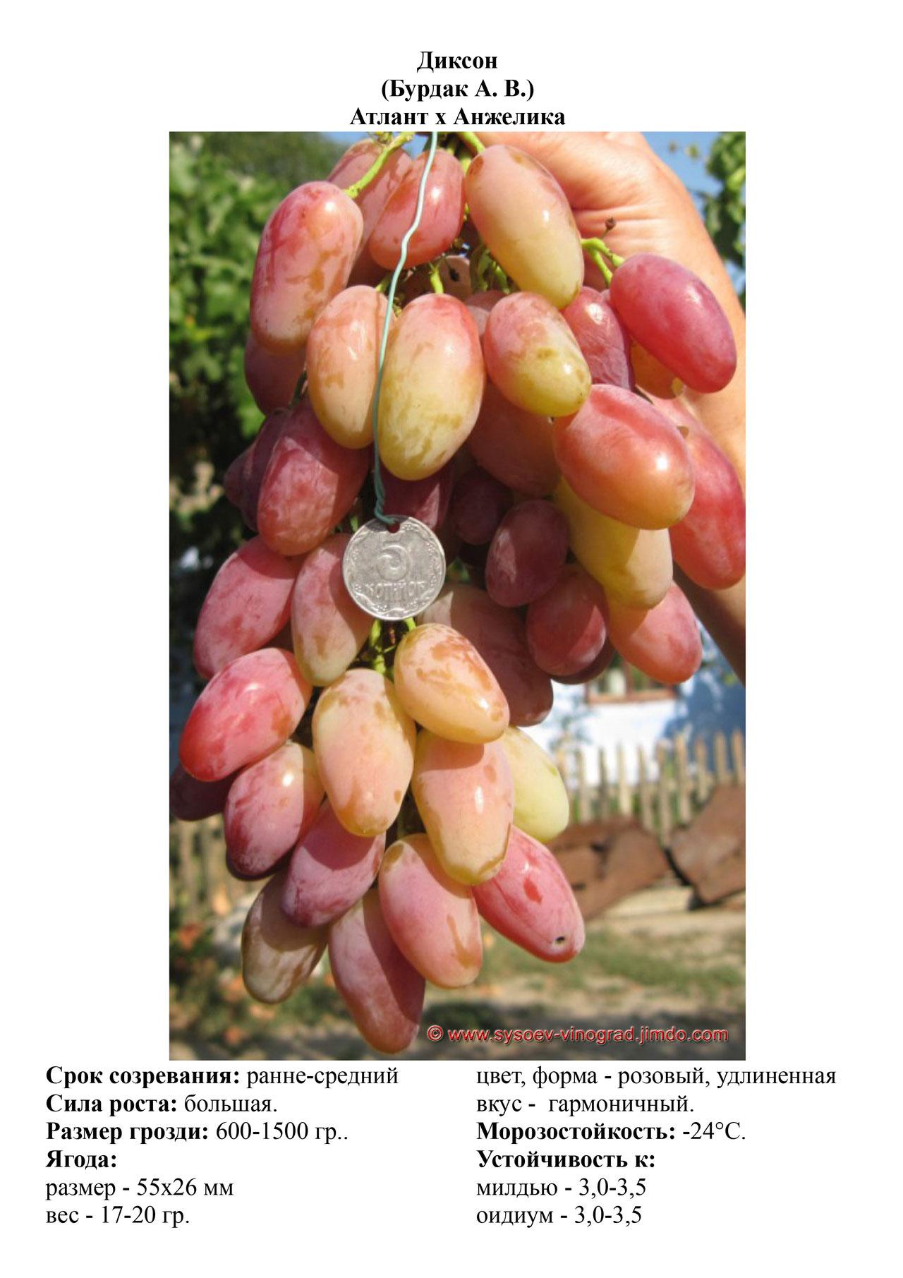 Сорт винограда маникюр фингер описание