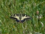 Papilio machaon (Schwalbenschwanz) / Griechenland Kreta Kissos 620 m,
