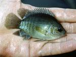 Im Mahakam lebende Fischart.