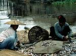 Die größeren Fische werden aufgeschnitten und zum Trocknen vorbereitet.