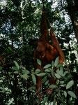 Am ängstlichsten waren die ausgewachsenen Tiere, diese zogen sich meistens in die Kronen von Baumriesen zurück. Ein tobendes Männchen brach Äste  ab und bewarf uns damit, dass wir das Fürchten lernten.