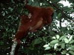 Borneo Orang-Utan (Pongo pygmaeus): Weibchen mit seinem Baby in freier Natur, ein seltenes Erlebnis.
