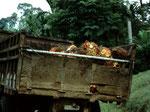 Die Früchte werden in die nahe gelegene Fabrik abtransportiert.