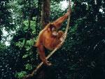 Borneo Orang-Utan (Pongo pygmaeus) live. Nur mit guten Führern gelang es uns, wilde Orang-Utans zu finden.
