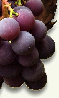 Uvas Vitis vinifera