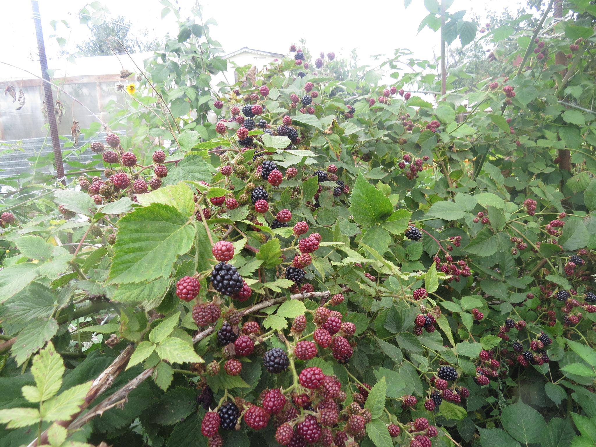 Выращивание ежевики на украине 17