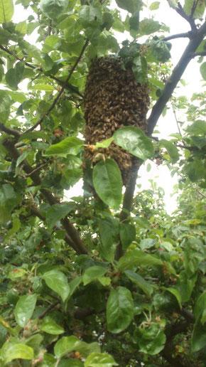 Bienenchwarmtraube kurz vorm Abflug