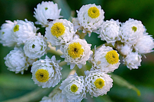 Western Pearly Everlasting (Anaphalis margaritacea), the only species of the genus Anaphalis that is native to North America.