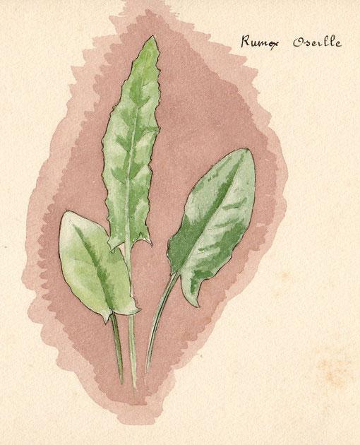 Rumex oseille - Polygala myrtifolia feuilles jaunes ...