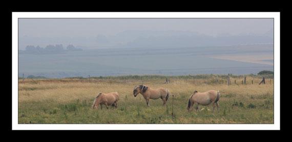 Les Hensons chevaux de la baie de Somme