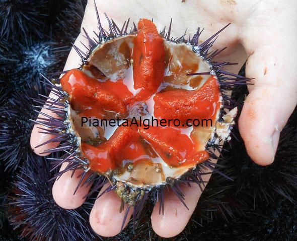 Ricci di Alghero, bellissimo riccio pieno di abbondante polpa. Ottimo per gli spaghetti ai ricci di mare.