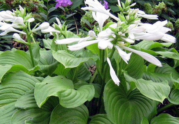 Садовый цветок с белыми листьями