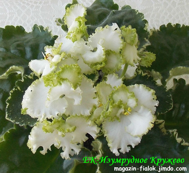 Волховская Бабочка галстуЛистья орхидея иБабочка галстуБечевка Бечевка
