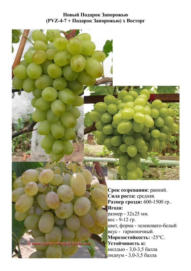 Виноград подарок запорожью описание и фото 665