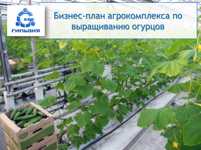 Бизнес план выращивание огурцы 65