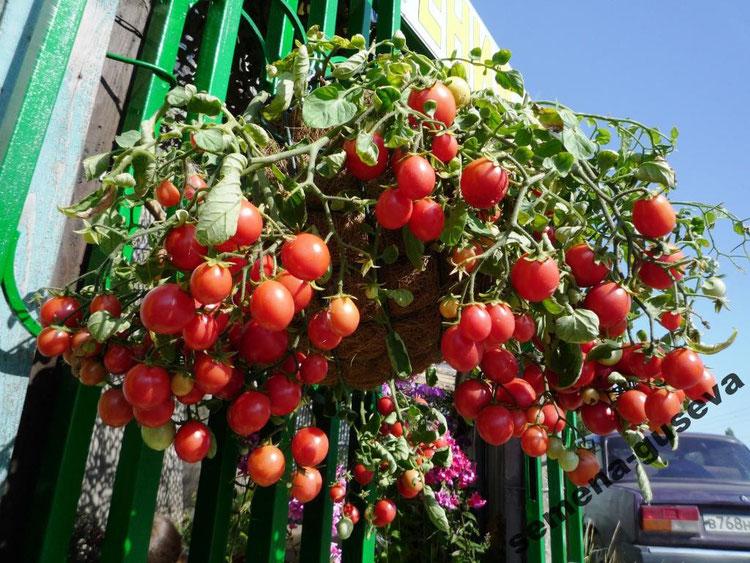 Когда сажают помидоры черри 549