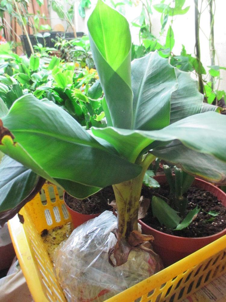 Банановые деревья в домашних условиях 120