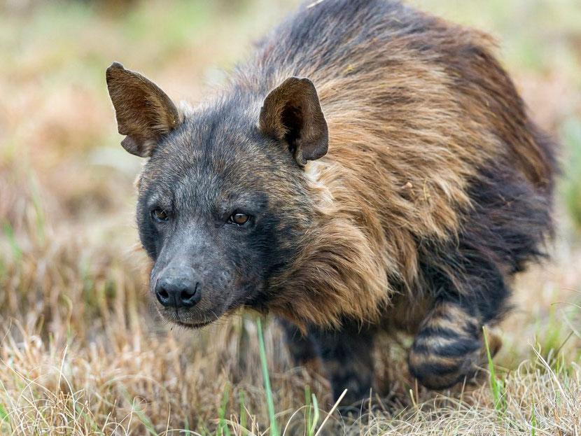 hyene brune Bebe Guepard