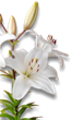 white lily - Medicinal plants