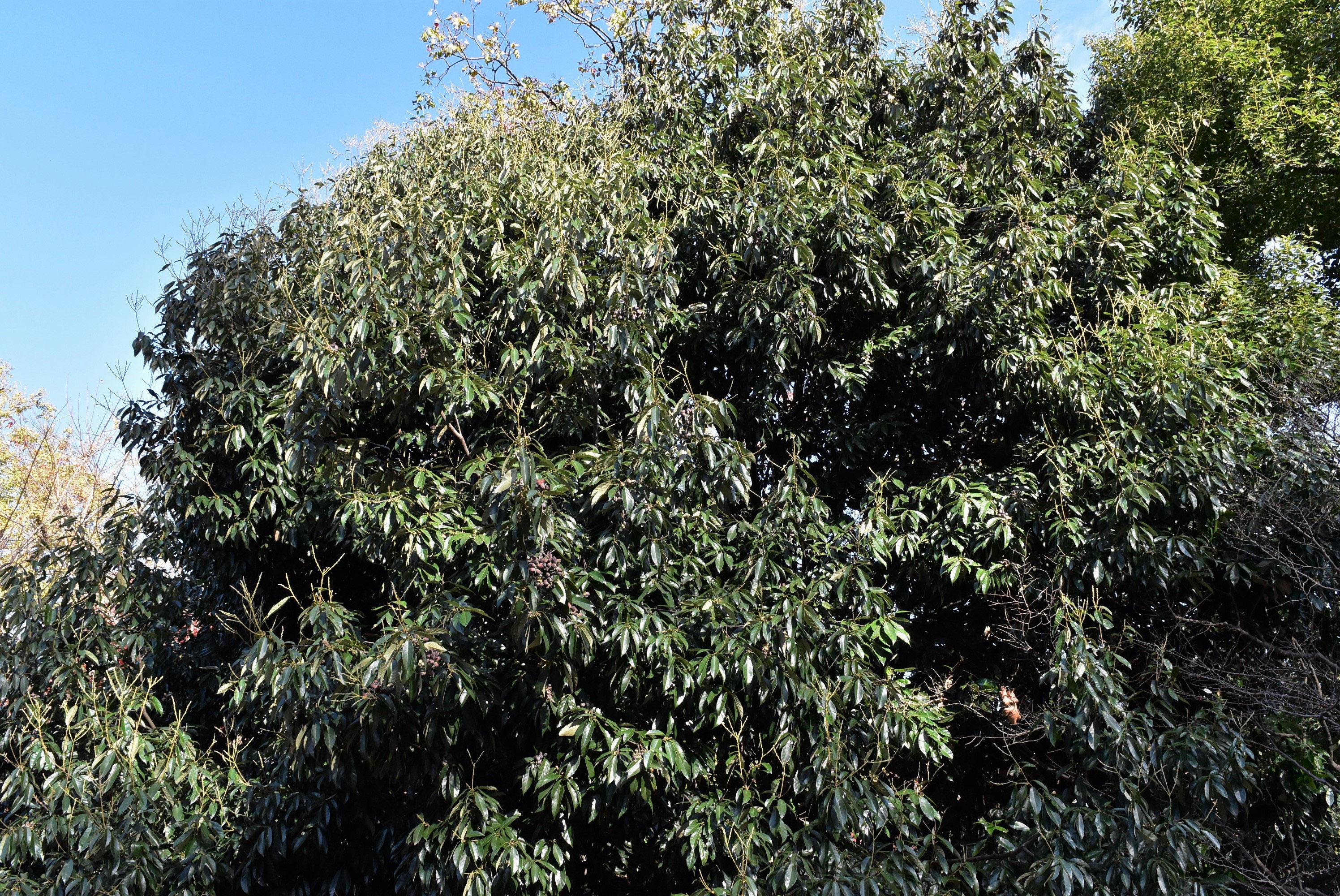 シリブカガシの画像 p1_33