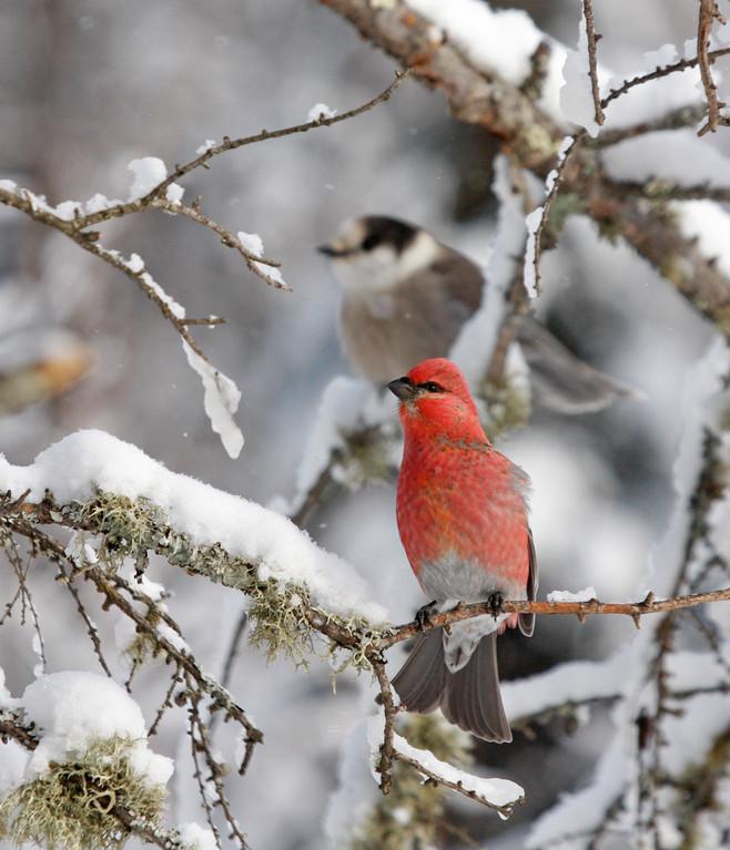 Pine Grosbeak (front) and Gray Jay (back). Minnesota