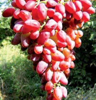 виноград русбол описание сорта фото отзывы