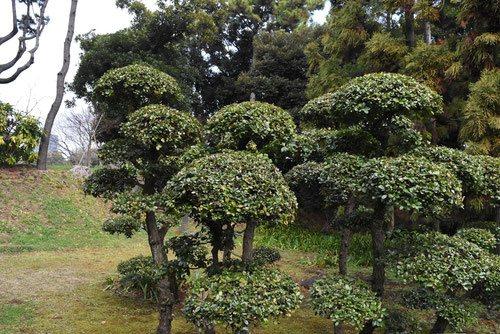 ウバメガシの手入れ 画像 ウバメガシ(姥目樫) - 庭木図鑑 植木ペディア