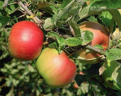 Яблоня Сладкая нега : описание, фото, отзывы