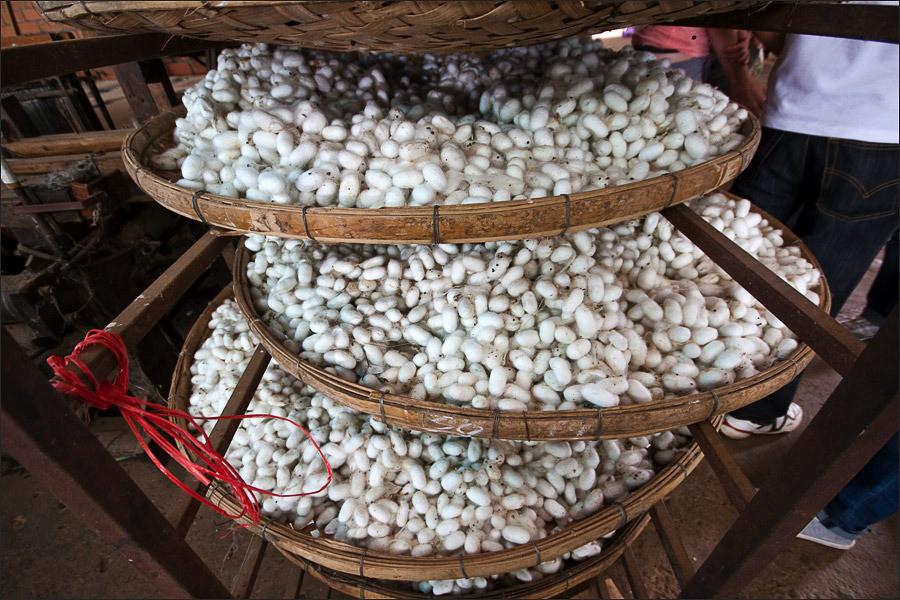 Выращивание тутового шелкопряда в россии 42