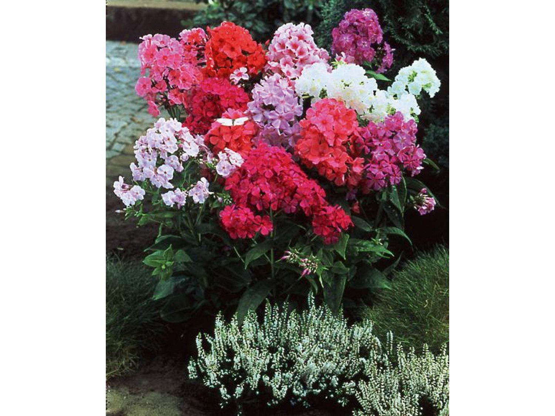 Советы садоводам: когда сажать флоксы Флоксы многолетние - посадка 40