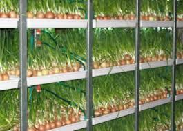 Выращивание лука на перо в домашних условиях зимой на продажу 27