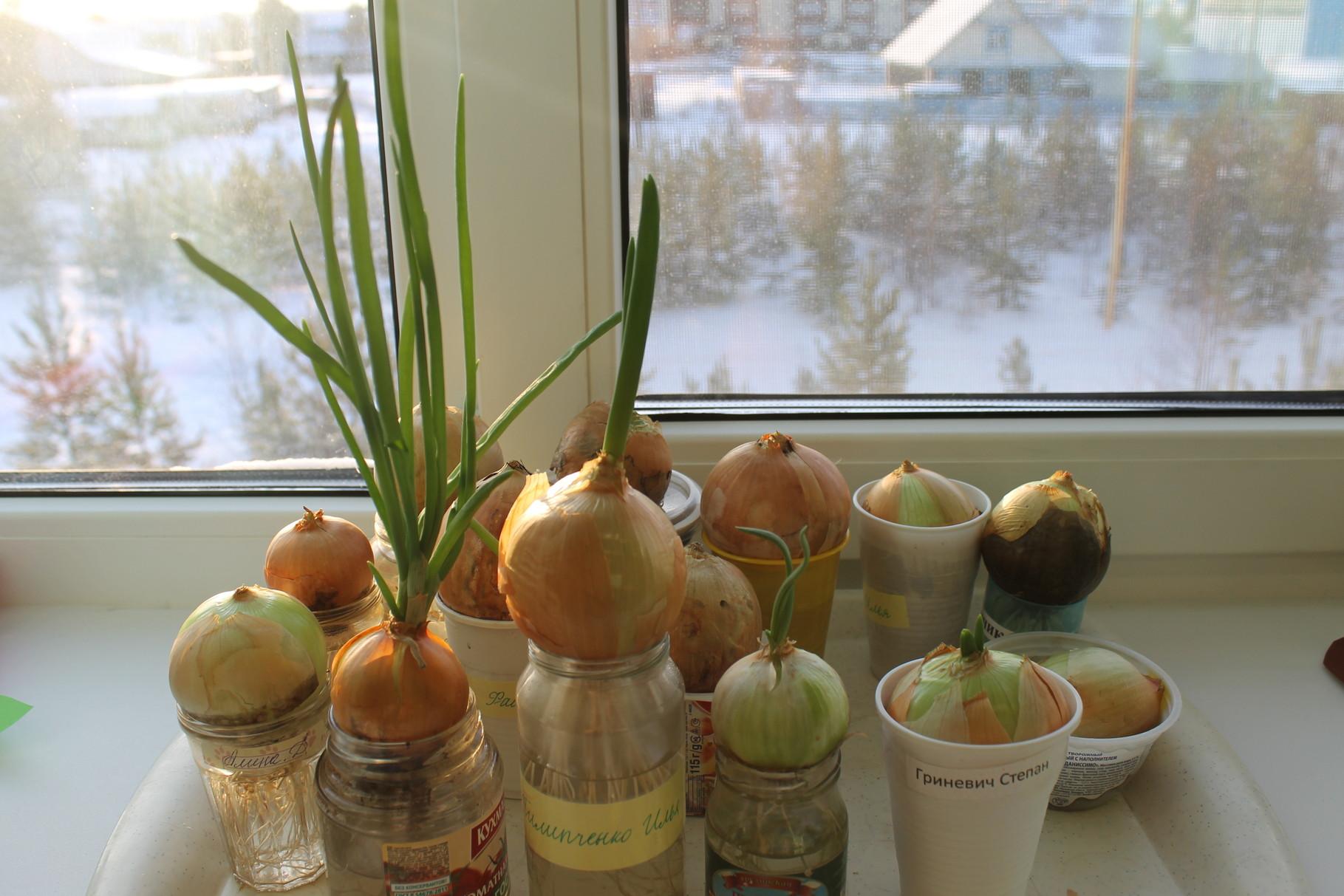 Выращивание лука в северных регионах 8