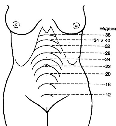 Правила роста живота во время беремености. Живот во время
