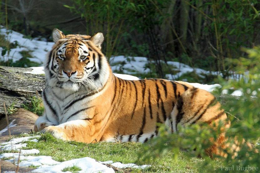 Extrem Tigre de Sibérie - Dictionnaire des Animaux - Diconimoz TC54