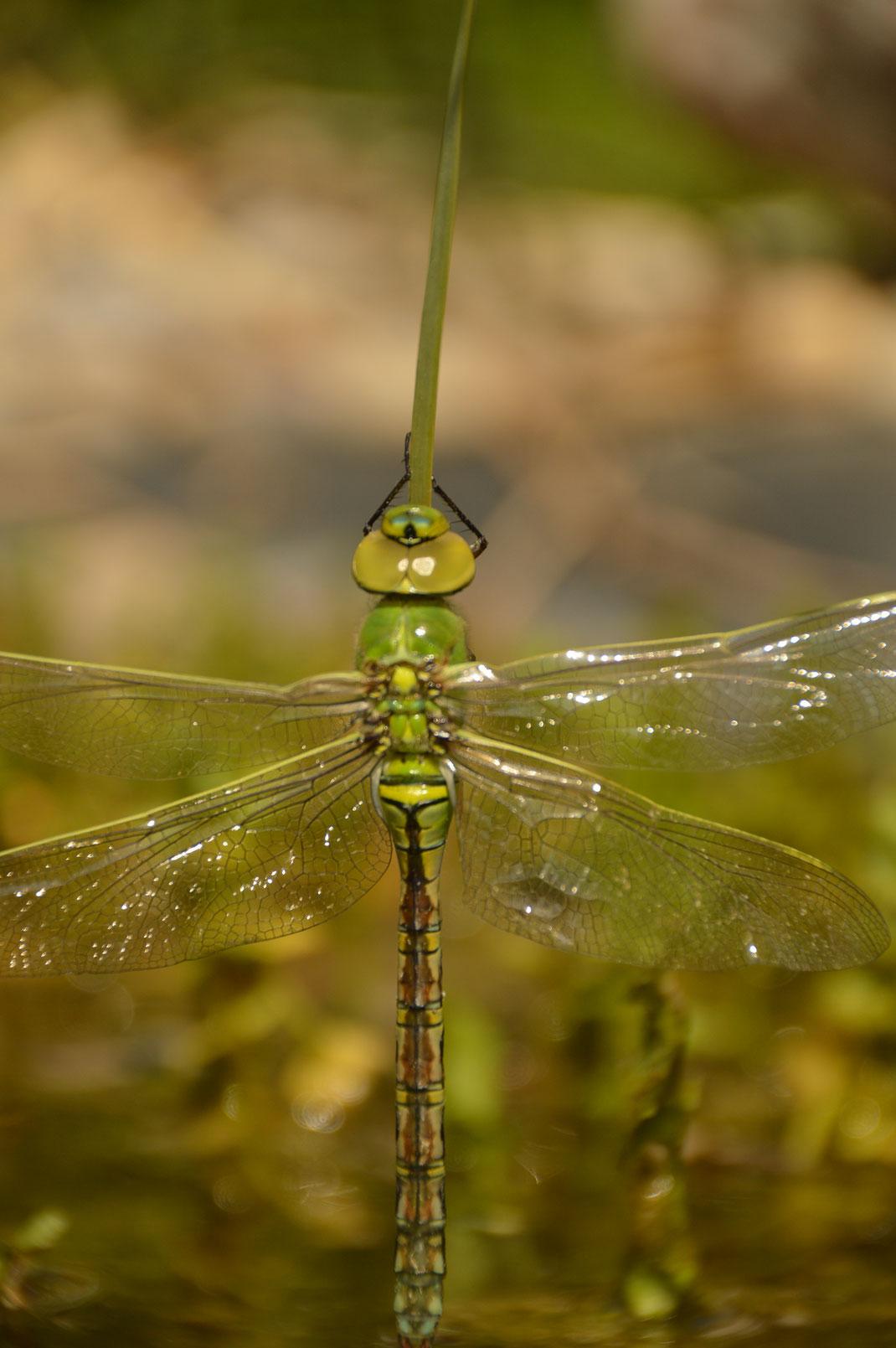 Frisch geschlüpfte Libelle, Blaugrüne Mosaikjungfer; © Karola