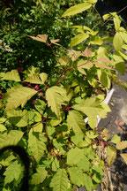 Acer cissifolium (ミツデカエデ)