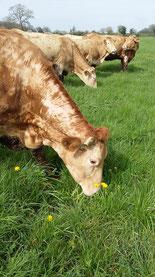 vache Blonde d'Aquitaine viande de qualité Ferme COUTANT And Cow 79 Mauléon
