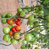 Stades de coloration de la tomate paola en été producteur les saveurs de Gâtine
