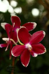 Phalaenopsis tetraspis C1 x tetraspis C1