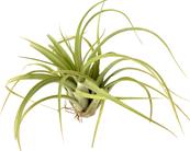 Tillandsia concolor x Tillandsia streptophylla