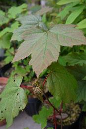 Acer pseudoplatanus セイヨウカジカエデ
