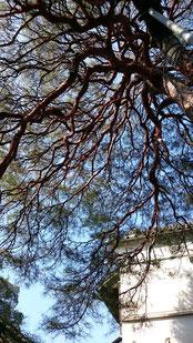 戸谷八商店の赤松の画像