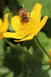 Bachbumbel (Trollblume) für Biotope oder in Wannen