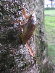 捕まえたセミの幼虫