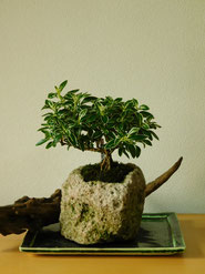 斑入白丁花(根上り)           ¥2,530(税込)        径約9cm×高さ約15cm