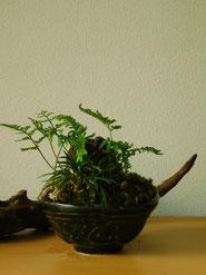 石化しのぶ・玉竜     ¥2,420(税込)        鉢径約11cm×高さ約15cm