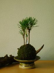 黒松            ¥1,210(税込)受皿別     径約7cm×高さ約17cm