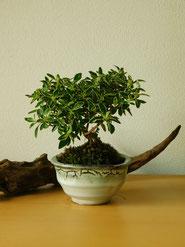 斑入白丁花(根上り)           ¥2,750(税込)        鉢径約9cm×高さ約15cm