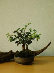 斑入にれけやき      ¥2,200(税込)        鉢径約9cm×高さ約14cm